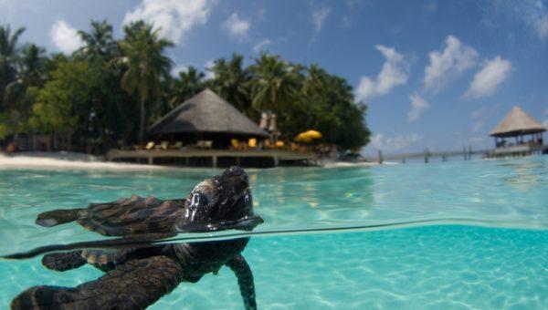 Angsana Ihuru Turtle Conservation